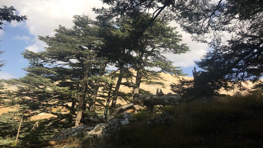 wereldberoemde ceders van Libanon