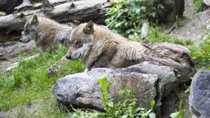 Wolven dierentuin Nordhorn
