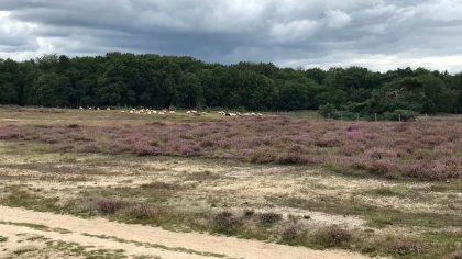 Heide, het Gooi